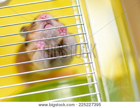 Funny Ginger Hamster Gets Out Of Its Cage
