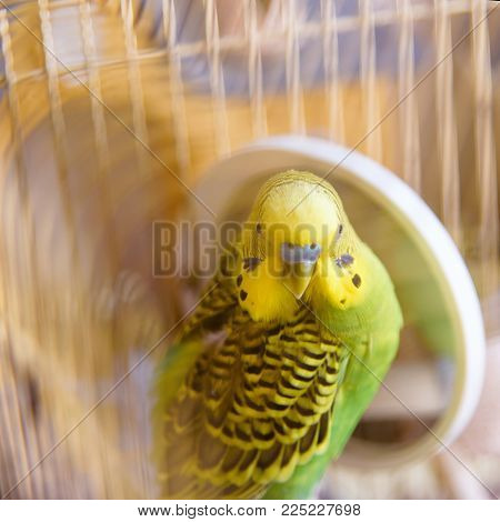 Budgie In A Cage Cleans Feathers Near The Mirror.
