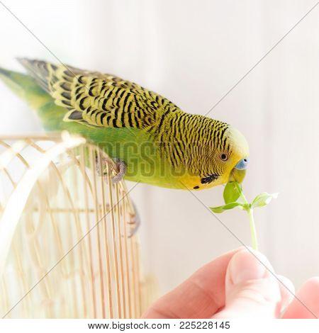 Parrot Eats From A Human Hand Fresh Green Grass