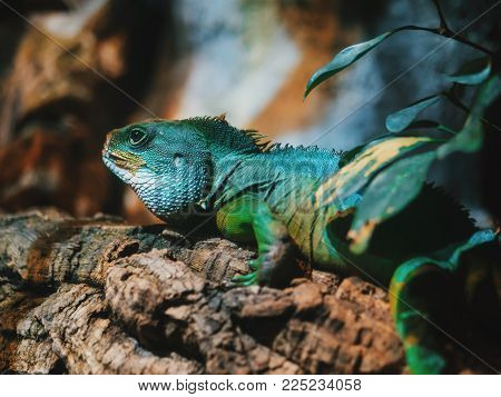 Close-up of Reptile, Young Green Iguana in terrarium sitting on wood branch