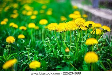 Yellow Dandelion Flower. Extreme Close Up Shoot