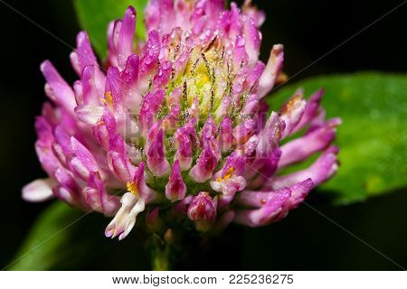 Morning dew on a flower clover closeup.Extreme close up