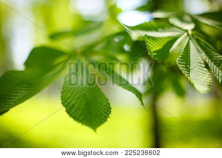 leaves of the chestnut forest backdrop. Blurred background
