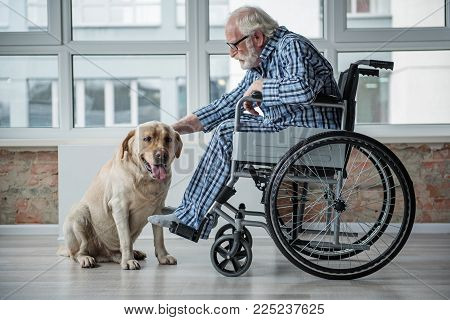 Peaceful Old Male Sitting In Invalid Chair While Wearing Pajamas In Room. He Is Stroking The Labrado