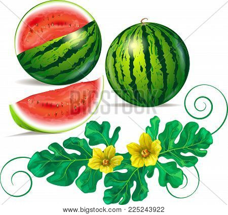 Watermelon, leaves and flowers of watermelon on a white background. Vector image.