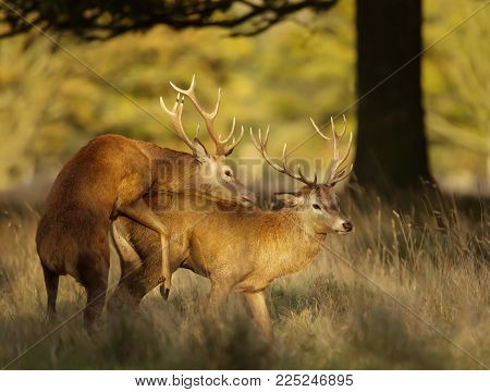 Red deer stags during the rutting season, UK.