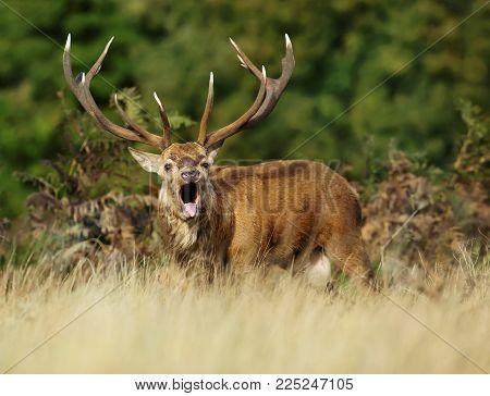 Red deer stag roaring during rutting season, autumn in UK.