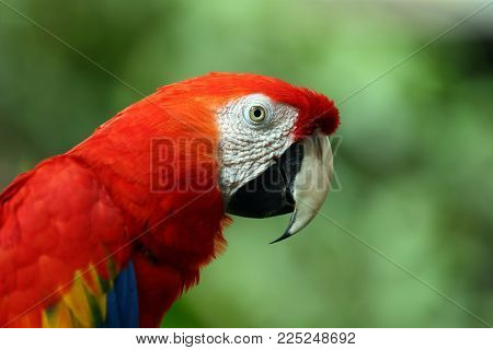 Face Of The Scarlet Macaw  Is A Large Red, Yellow, And Blue South American Parrot, A Member Of A Lar