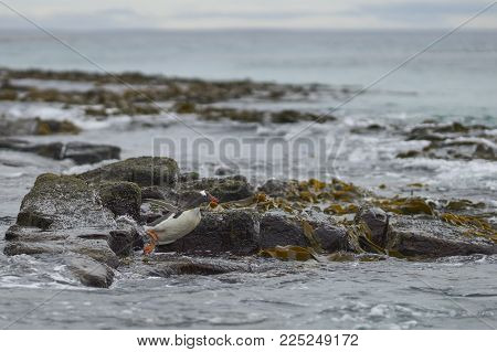 Gentoo Penguin (pygoscelis Papua) Heading To Sea Early In The Morning On A Rocky Kelp Strewn Beach O