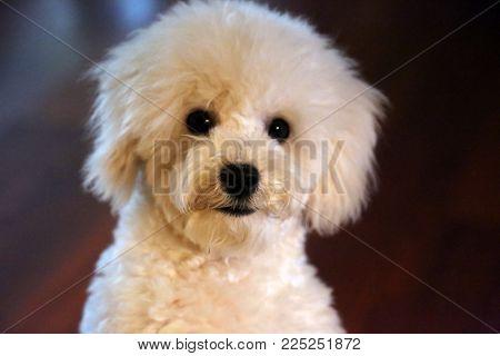 Purebred Bichon Frise Puppy.