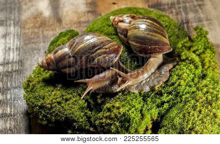 Achatina fulica, Achatina snail. two snails on the moss