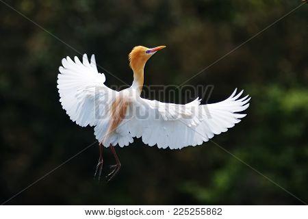 little egret (egretta garzetta) try to fly