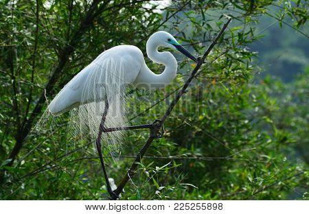 little egret (egretta garzetta) on the branche