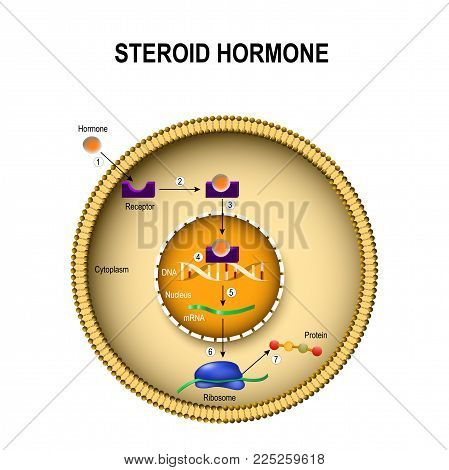 How Steroid Hormones Work. Interaction Of The Hormone With The Intracellular Receptor. Human Endocri
