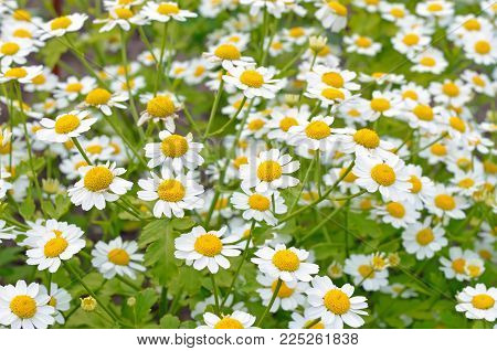 Flowers feverfew (Tanacetum parthenium) in the garden