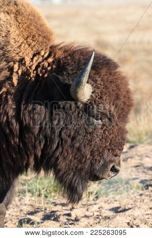 Colorado Animals - Genetically Pure American Bison
