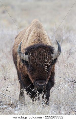 Colorado Animals - Genetically Pure American Bison