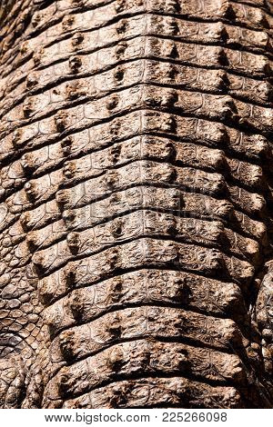 Detailed view on the structured back of a crocodile