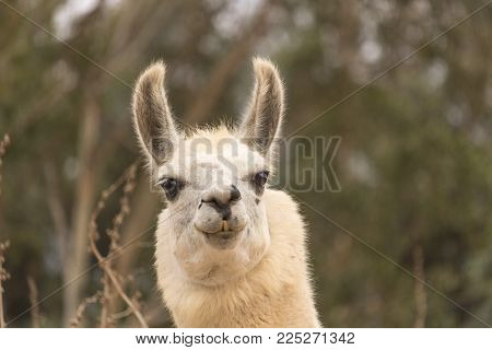 Humorous alert head shot of white smiling llama, alpaca has smile with teeth showing, ears up, kind eyes, close up