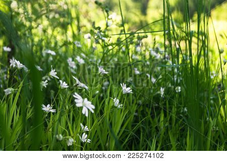 Delicate white flowers of chickweed on a Sunny forest glade.