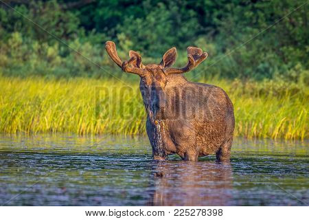 A Bull Moose Standing In The Lake Enjoying The Early Morning Sun.