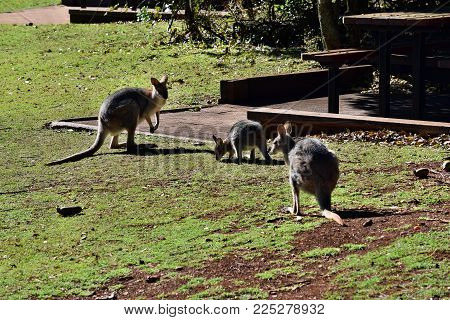 Young Cute Wild Grey Kangaroo