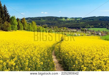 Field of rapeseed, canola or colza in Latin Brassica napus with rural road, rapeseed is plant for green energy and green industry, springtime golden flowering field