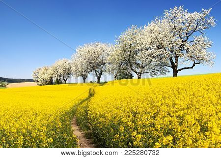 Rapeseed, canola or colza field with parhway and alley of flowering cherry trees - Brassica Napus - rape seed is plant for green energy and oil industry - spring time view