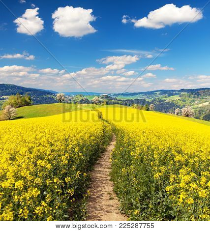 Field of rapeseed, canola or colza in Latin Brassica napus with beautiful cloudy sky and path way, rape seed is plant for green energy and green industry, springtime golden flowering field