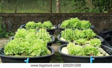 Fresh organic green oak culture in aquaponic or  hydroponic farming. Salad organic hydroponic farm, green salad Vegetable leaf, Green Oak