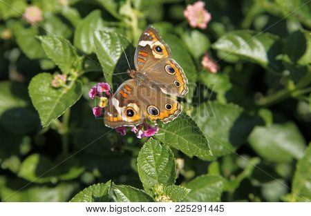 Junonia Coenia, Known As The Common Buckeye Or Buckeye Butterfly