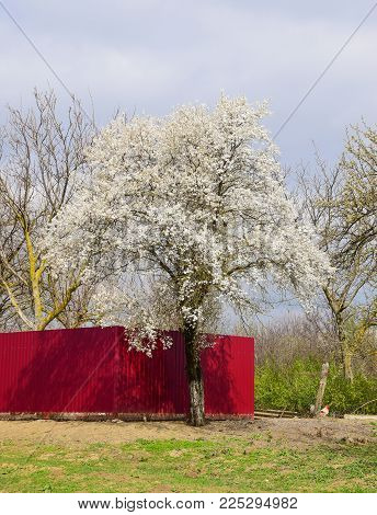Flowering white plum. Plum branches covered with flowers.