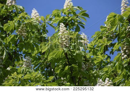Spring blossoming chestnut tree flowers. Aesculus hippocastanum blossom of horse-chestnut tree