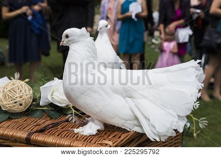 Two white fluffy purebred doves sitting on a decorated wicker basket near wedding guests on a background of green grass lawn