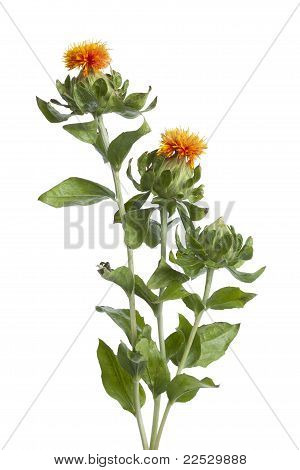 Orange Safflower
