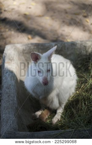 Albino Wallaby / Colorless Wallaby , Pink eyes and white hair , Found in Australia