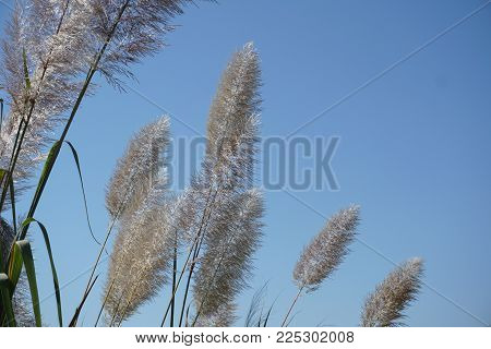 White feather pampas grass on blue sky background