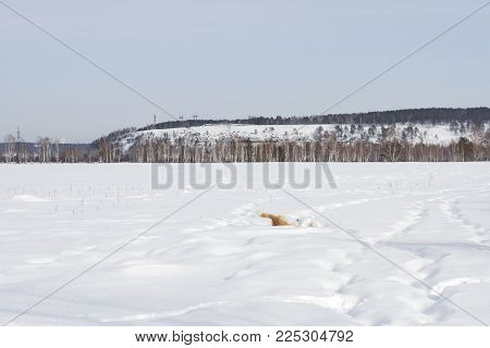 A happy Japanese Akita Inu dog is amusingly floundering in the snow in winter on a mountain forest background.