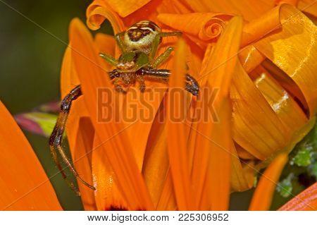 Crab Spider on Orange Daisy Waiting for Prey