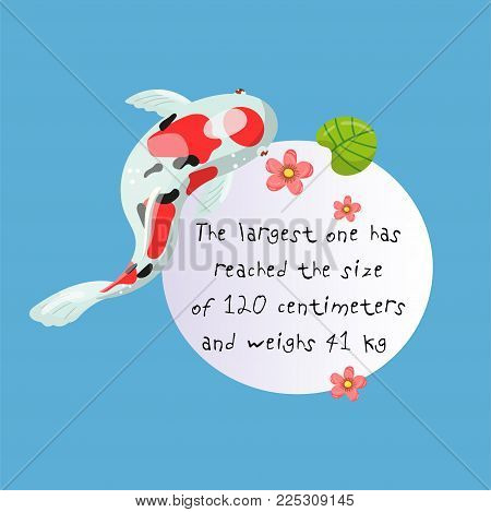 Features of Sanke Carp Koi, traditional sacred Japanese fish, element for creating your own infographic design with handwritten text, colorful vector Illustration.