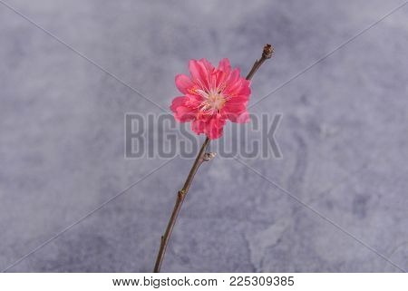 Red cherry flowers on a gray background .