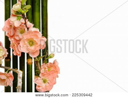 Blooming tree in spring with bamboo groveisolated on white background