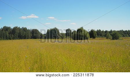 Maturing flax in a large field, almost ready to harvest. Flax field in Summer. Field of golden flax seeds.