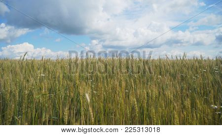 Wheat ears in field. blue sky, clouds. Golden wheat field. Yellow grain ready for harvest growing in farm field.