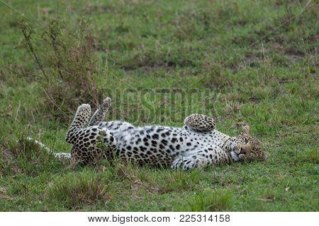 leopard rolling on the grasslands of the Maasai Mara, Kenya