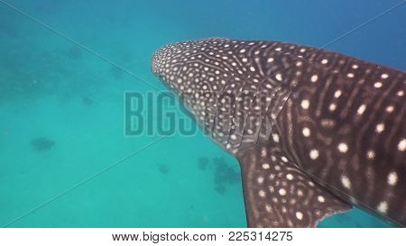Whale Shark swimming in the clear blue water. Rhincodon typus. Whale shark underwater. Philippines, Oslob.. Wonderful and beautiful underwater world.