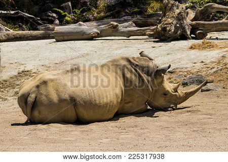 Southern white rhino also known as Ceratotherium simum simum having a sleep in the sun.