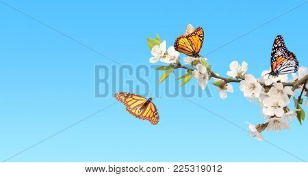 Flowers of cherry and monarch butterflies (Danaus plexippus, Nymphalidae). On clear blue sky background. Mock up template. Copy space for text