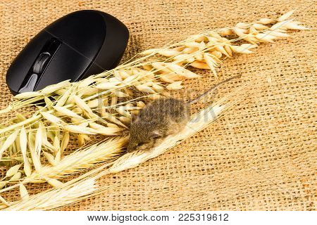 mouse, input equipment and spikelets of cereals on sackcloth background