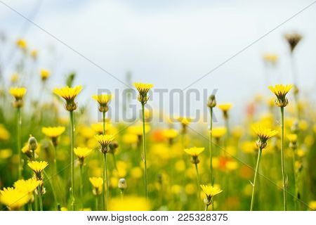beautiful yellow flowers on a background of green field